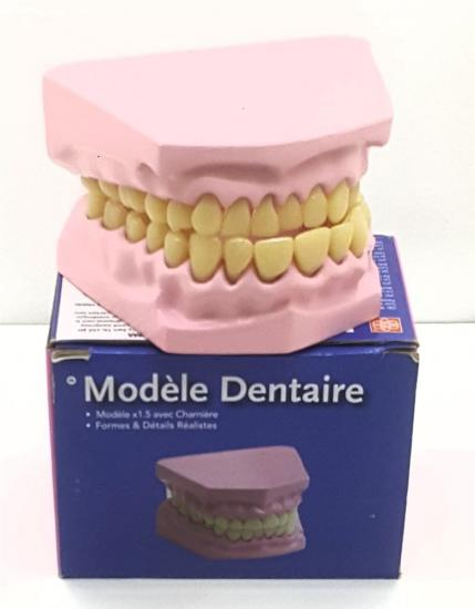 DENTAL DİŞ MODELİ